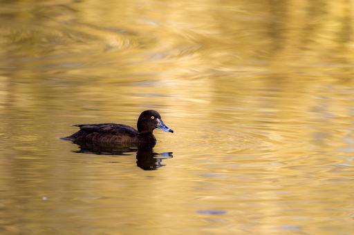 Canard plongeur femelle en Norvège
