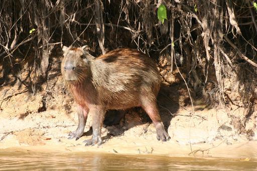 Capybara au bord de l'eau au Venezuela