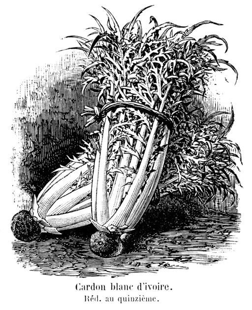 Cardon blanc d'ivoire
