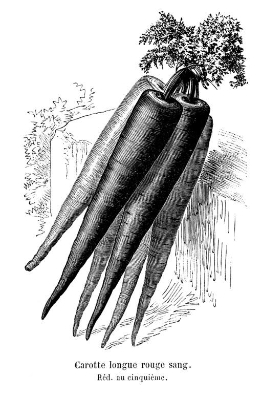 Carotte longue rouge sang