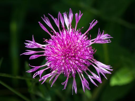 Centaurée jacée en fleur