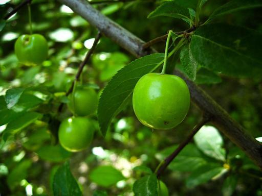 Cerises vertes dans l'arbre