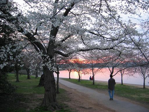 Cerisiers en fleurs au bord d'un lac