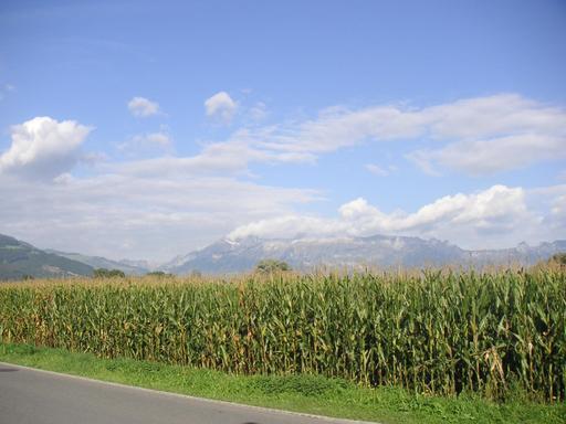 Champ de maïs au Liechtenstein
