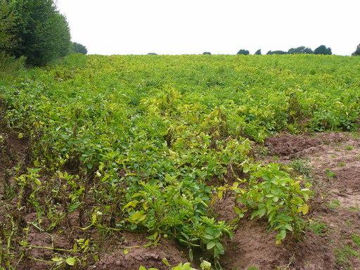Champ de pommes de terre avant récolte