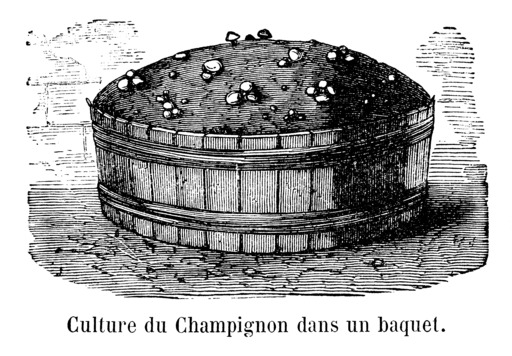 Champignon de culture dans un baquet