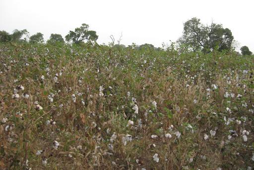 Champs de coton en Casamance