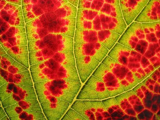 Changement de couleur d'une feuille de vigne en automne
