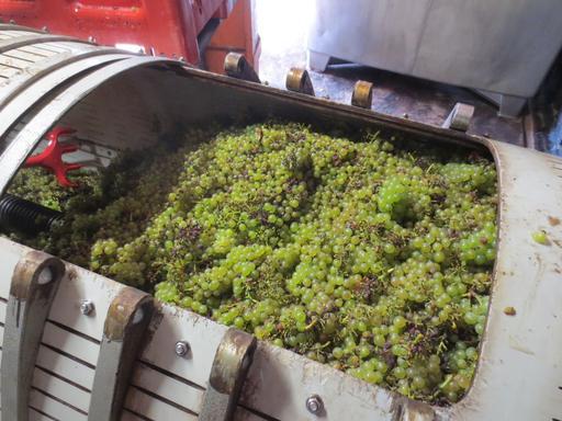 Chardonnay vendangé en Jura