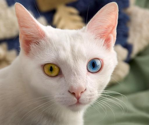 Chat aux yeux vairons