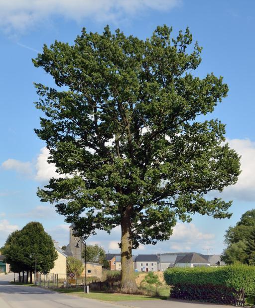 Chêne classé au Luxembourg