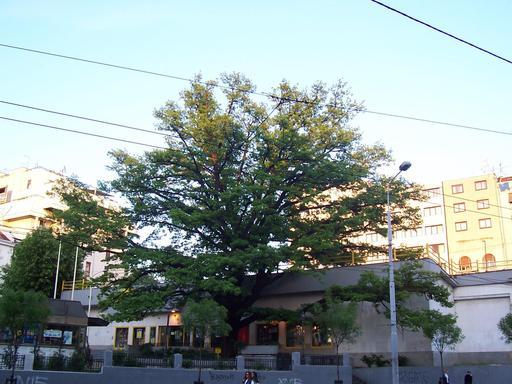 Chêne pédonculé en ville