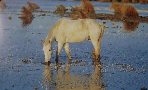 Cheval de Camargue dans le marais du Rhône