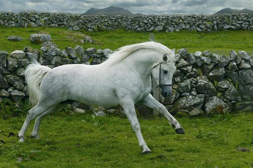 Cheval du Connemara