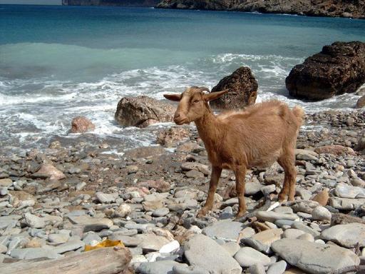 Chèvre sauvage en bord de mer