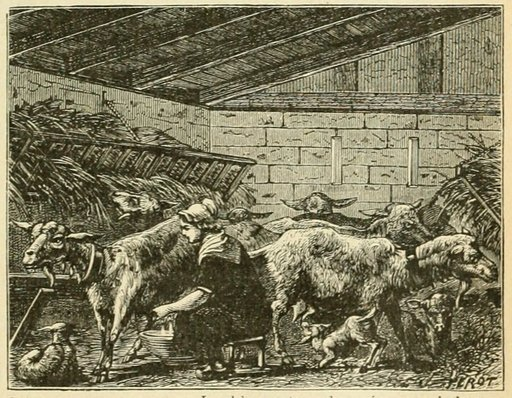 Chèvres en stabulation