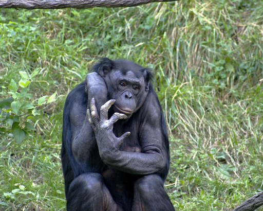 Chimpanzé nain