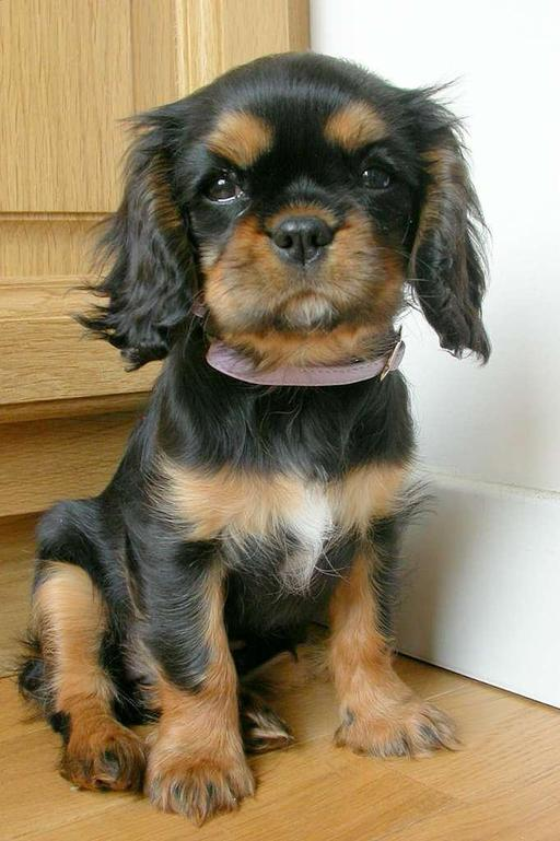 Chiot de Cavalier-king-charles