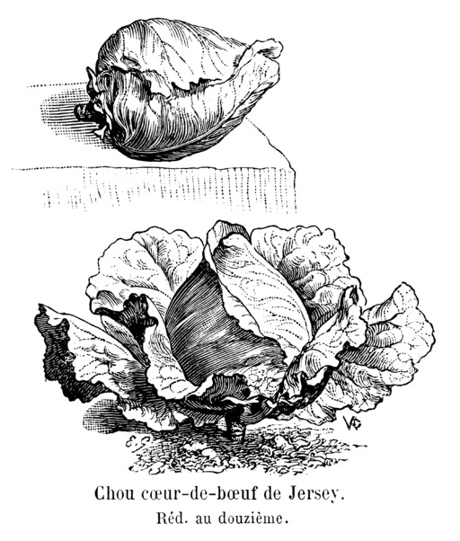 Chou cœur-de-bœuf de Jersey