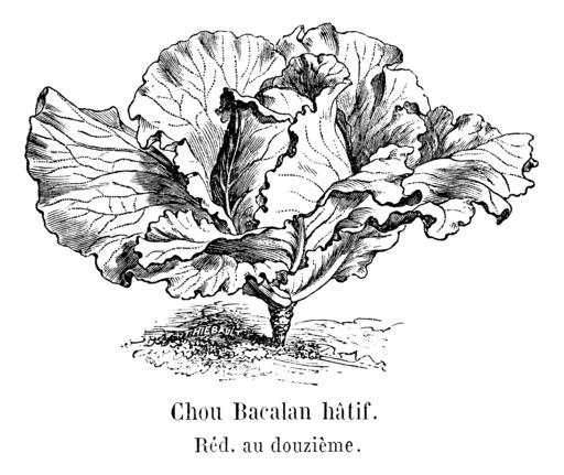 Chou de Bacalan hâtif