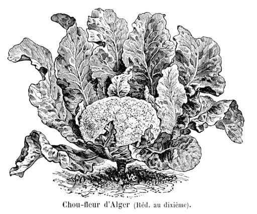 Chou-fleur d'Alger