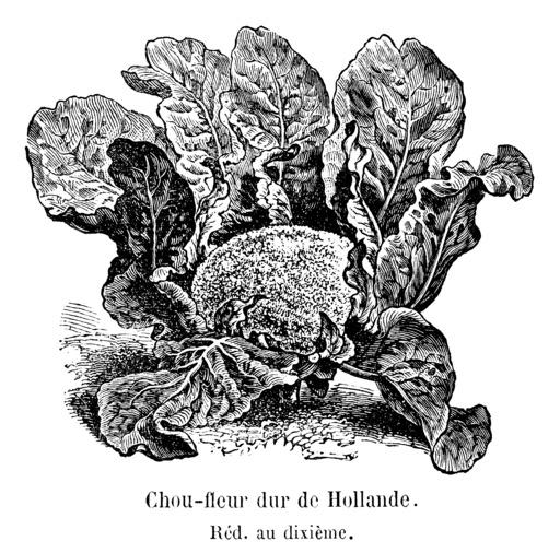 Chou-fleur dur de Hollande