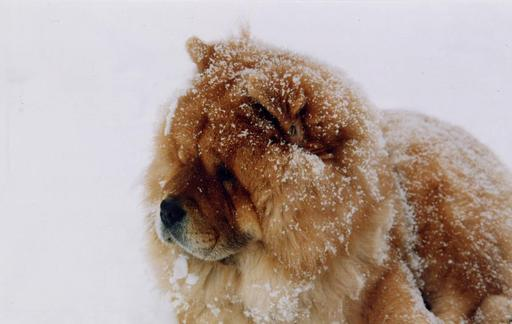 Chow-chow sous la neige