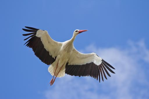Cigogne blanche en vol