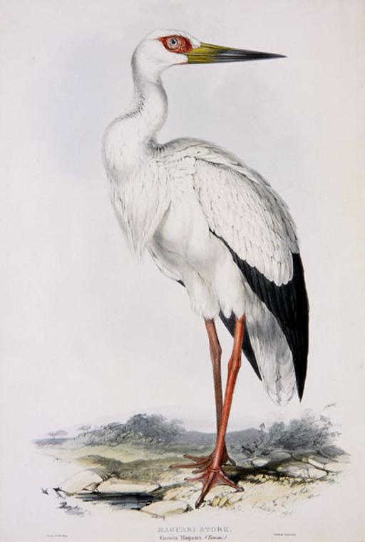 Cigogne Maguari