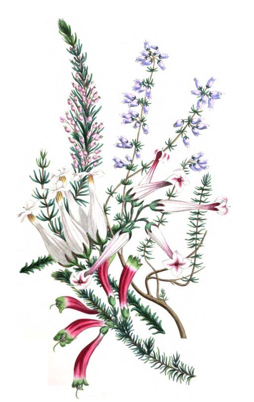 Cinq espèces de bruyères en 1836