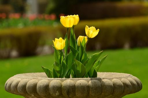 Cinq tulipes jaunes dans une vasque en pierre