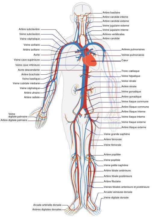 Circulation sanguine humaine