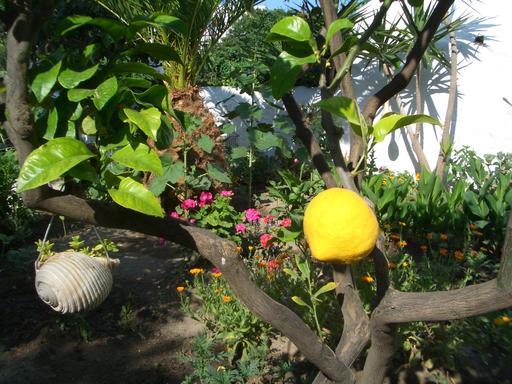 Citronnier dans un jardin à Mykonos