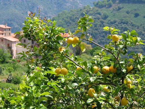 Citronnier en Corse