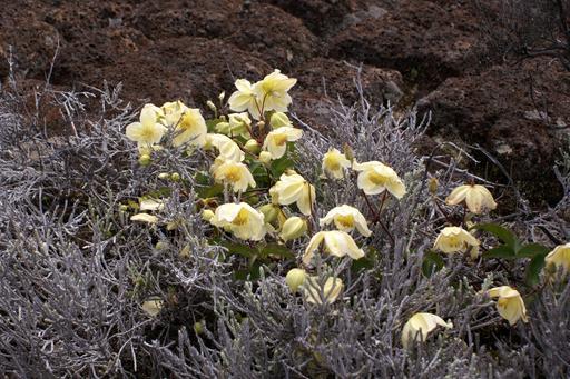 Clematis mauritiana de La Réunion