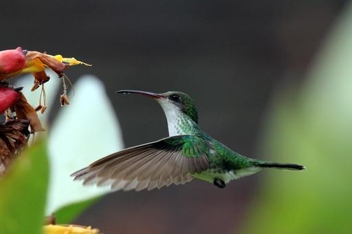 Colibri à tête noire en vol