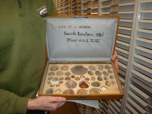 Collection de mollusques fossiles