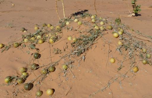 Coloquintes mûres dans le désert