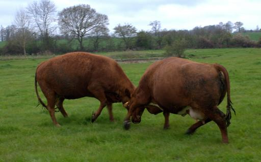 Combat de vaches