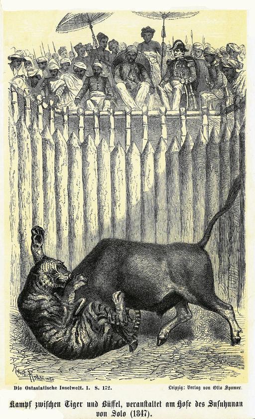 Combat organisé entre un buffle et un tigre à Java en 1886