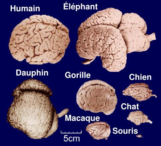 Comparaison du cerveau de huit mammifères