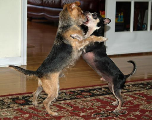 Comunication animale entre deux chiens