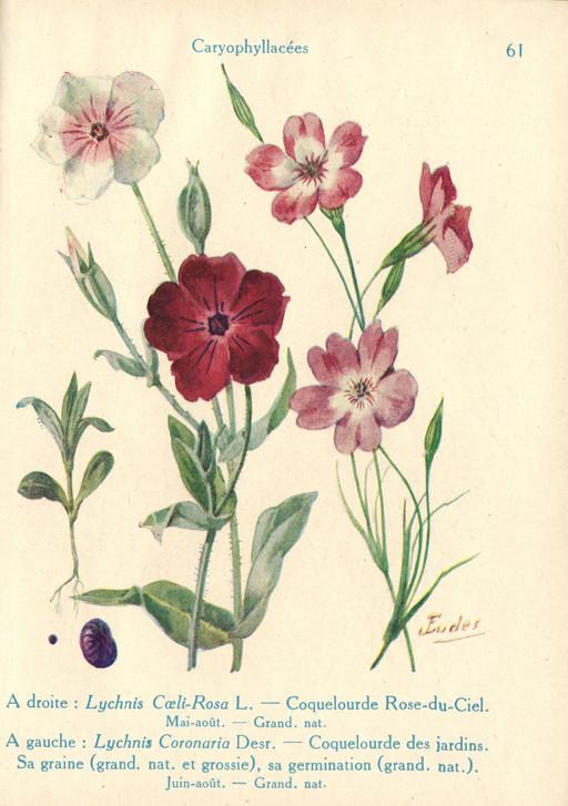 Ressources ducatives libres les - Coquelourde des jardins lychnis coronaria ...