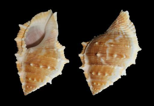 Coquille de Bufonaria