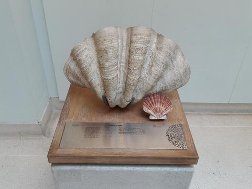 Coquilles Saint-Jacques au Muséum de Londres