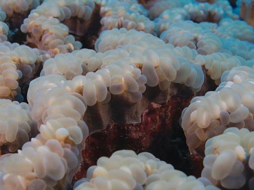 Corail à bulles sinueux