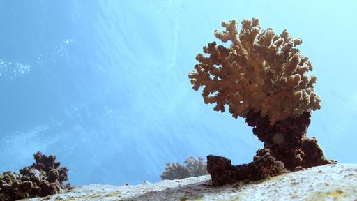 Corail chou-fleur