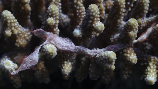 Corail corne de cerf