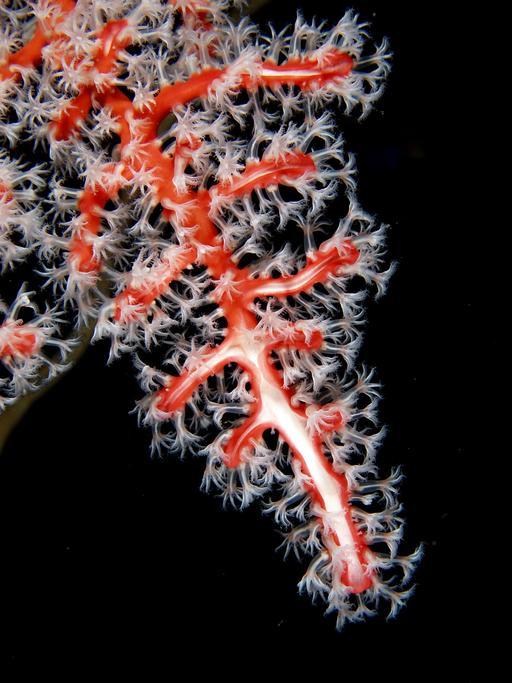 Corail et polypes