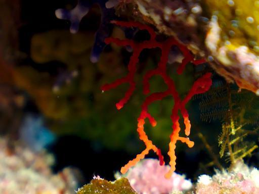 Corail rouge de Méditerranée